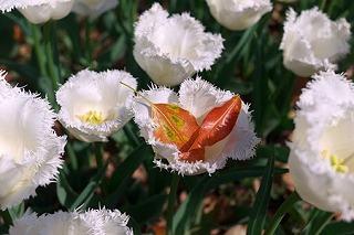 2011.04.15 横浜公園 チューリップまつり 落ち若葉のゆりかご.jpg