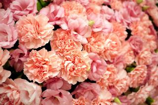 7705904ピンクの花絨毯 by 爆睡いぬ.jpg