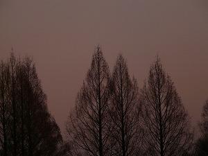 13568冬木立のメタセコイア.jpg