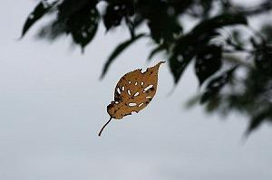 2010.09.10 和泉川 櫻葉.jpg