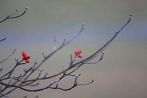 2010.11.26 和泉川 ハナミズキ.jpg