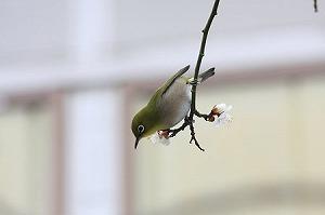 2011.02.12 和泉川 梅にメジロ.jpg