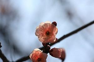 2011.02.16 大池公園 梅-ピンク.jpg