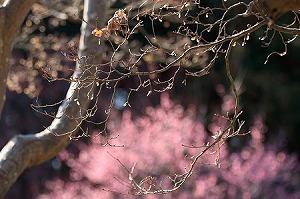 2011.02.16 大池公園 紅葉の奥に紅梅.jpg
