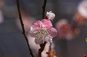 2011.03.19 大池公園 梅 紅白.jpg