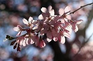 2011.04.04 和泉川 枝垂桜に朝日.jpg