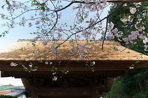 2011.04.10 極楽寺 山門とさくら.jpg