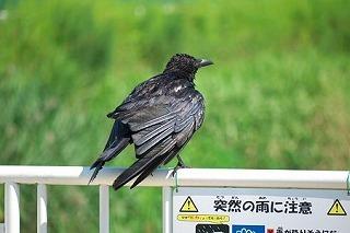 2011.06.29和泉川カラス「突然の雨に注意」.jpg