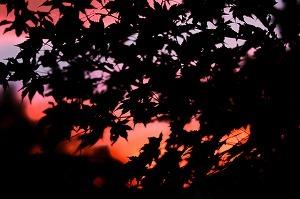 5437724夕焼けと葉っぱ.jpg
