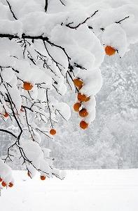 7867918冬柿.jpg