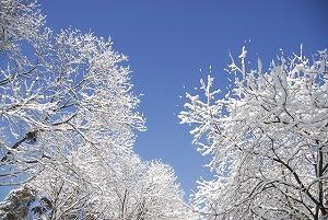 8003214新雪の積もった木々.jpg