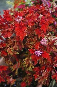8958792赤い葉.jpg