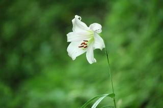 9080619ユリの花 by 春森アオジ.jpg