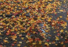 雨の落ち葉道.jpg